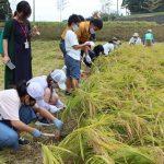 生協ララコープ組合員が米生産者と稲刈り体験交流