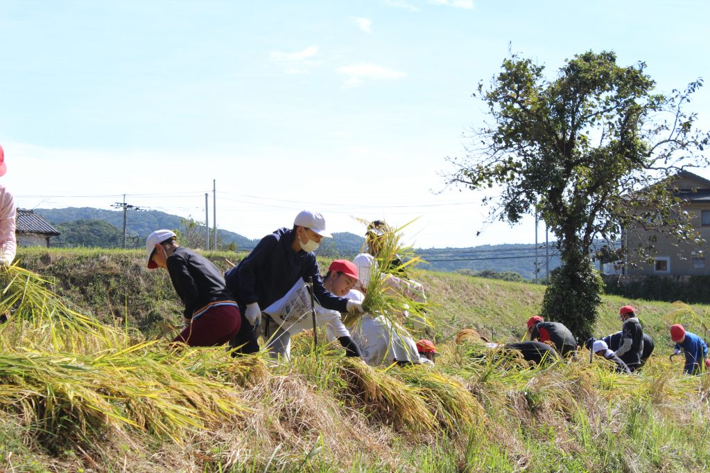 秋の実り収穫/吉井南小学校食農教育活動