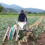 梅雨の晴れ間に玉ねぎ収穫